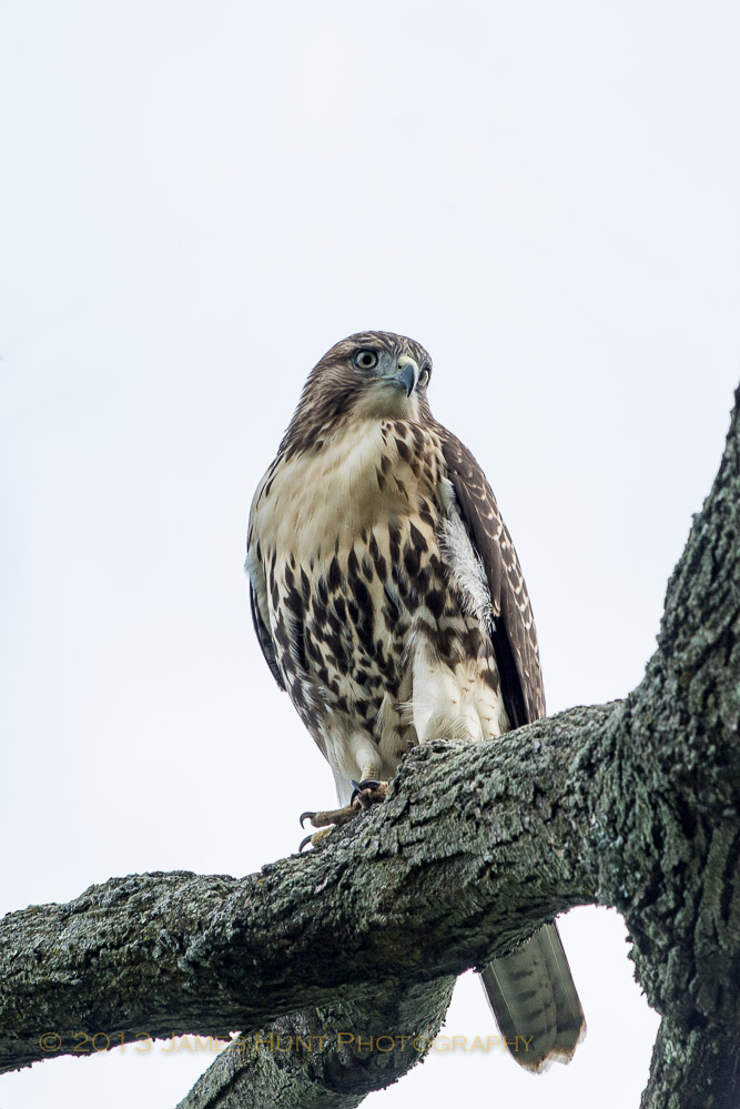 Hawk, Elm Park, Worcester MA James Hunt copyright 2013
