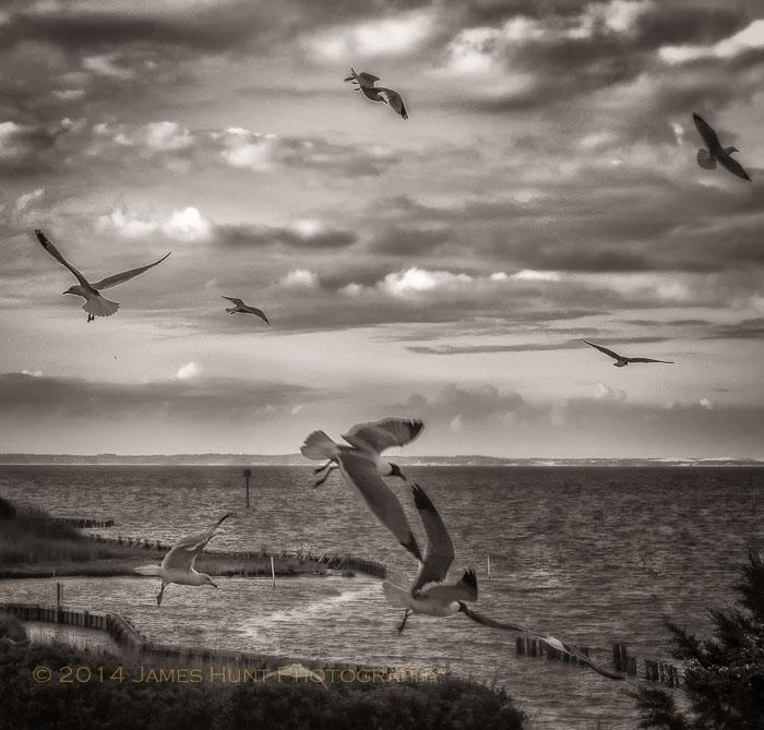 Gulls over Roanoke Sound - 2012